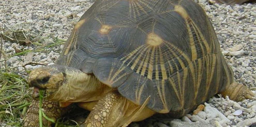 Incautan 771 crías de tortuga en extinción