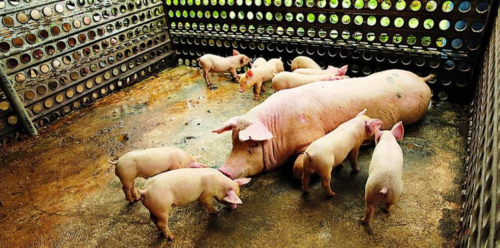 Regularán la industria porcina
