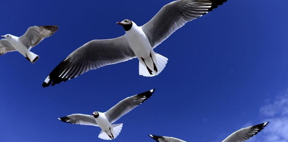 Detectan brote infeccioso en aves de Costa Rica