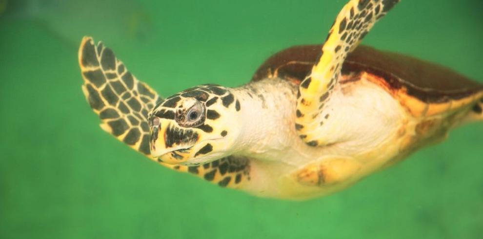 Las tortugas planas nadan a contracorriente