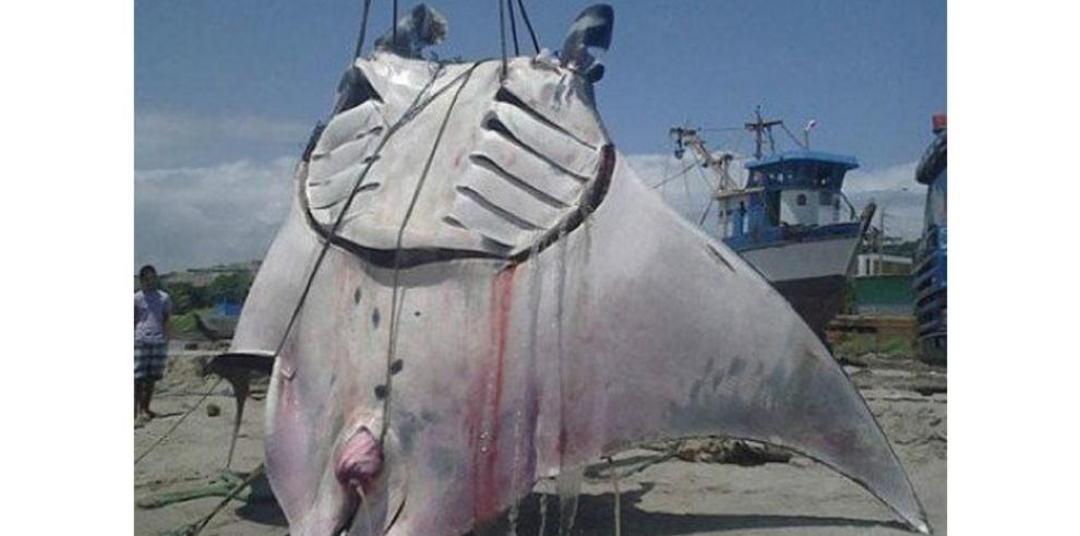 Peruanos capturan enorme mantarraya de casi mil kilos