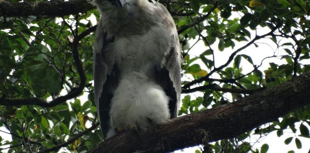 Donoso: hogar del águila harpía, el ave nacional