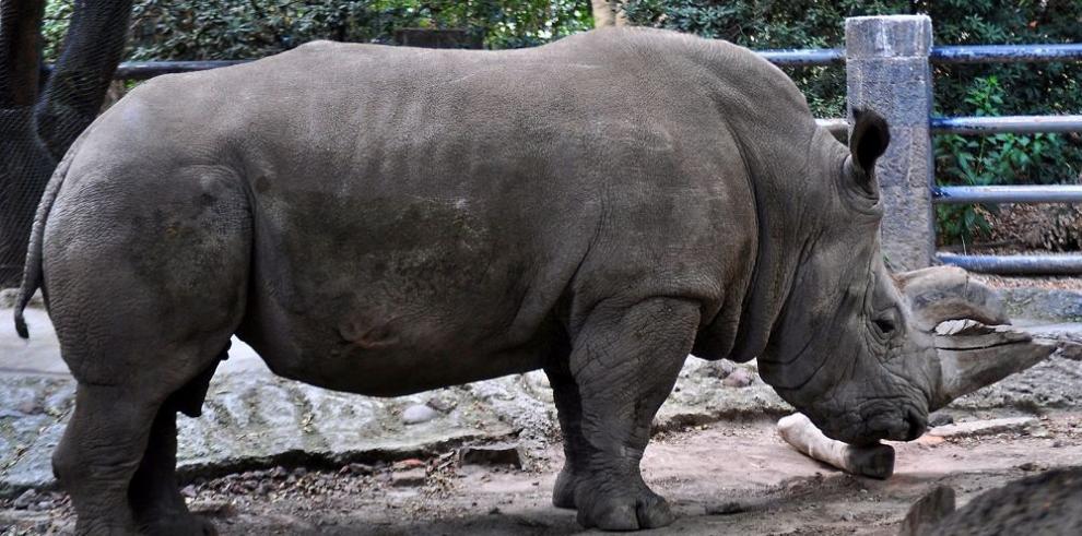 """""""Sudán"""", el último rinoceronte blanco, bajo fuerte vigilancia"""