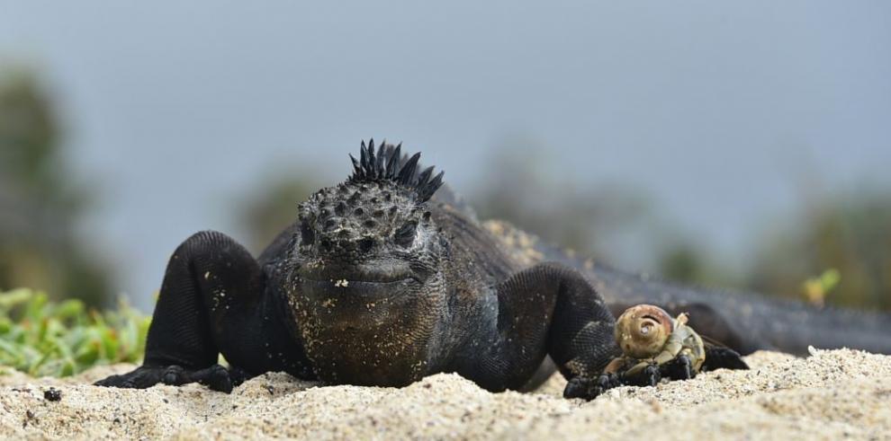 Iguanas marinas: el termómetro del calentamiento global en Galápagos