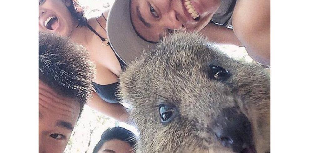 Quokka, el animal que ama los selfies