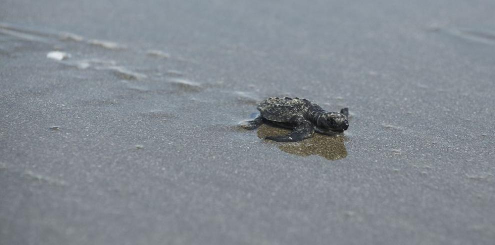 Liberan más de 60 neonatos de tortugas lora en Punta Chame