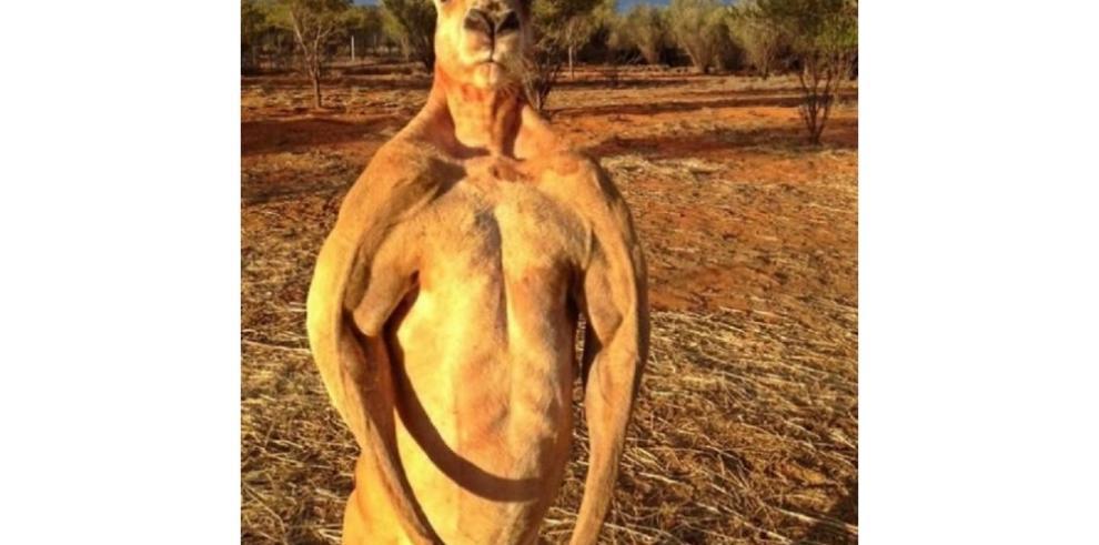 Impresionantes canguros fisiculturistas