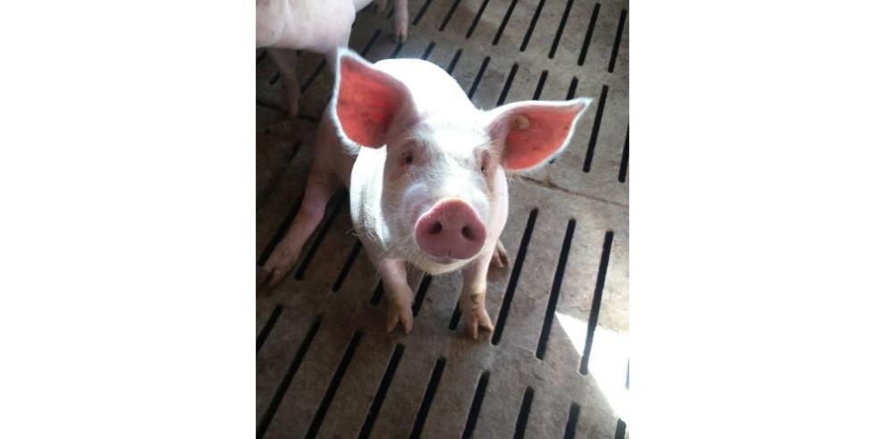 Sector porcino de capa blanca español busca atraer al país