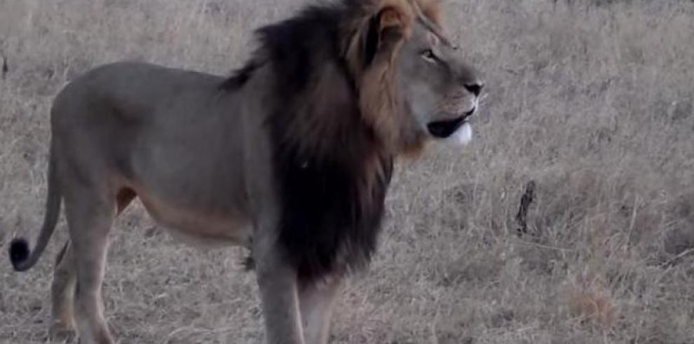 Estadounidense fue el que mató a Cecil el león símbolo de Zimbabue