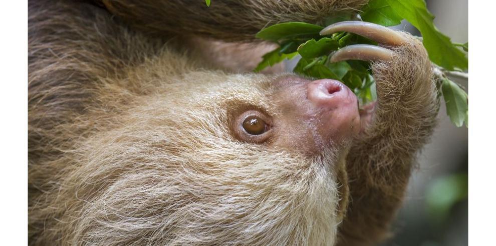 Población de perezosos pigmeos es mayor, según el Smithsonian