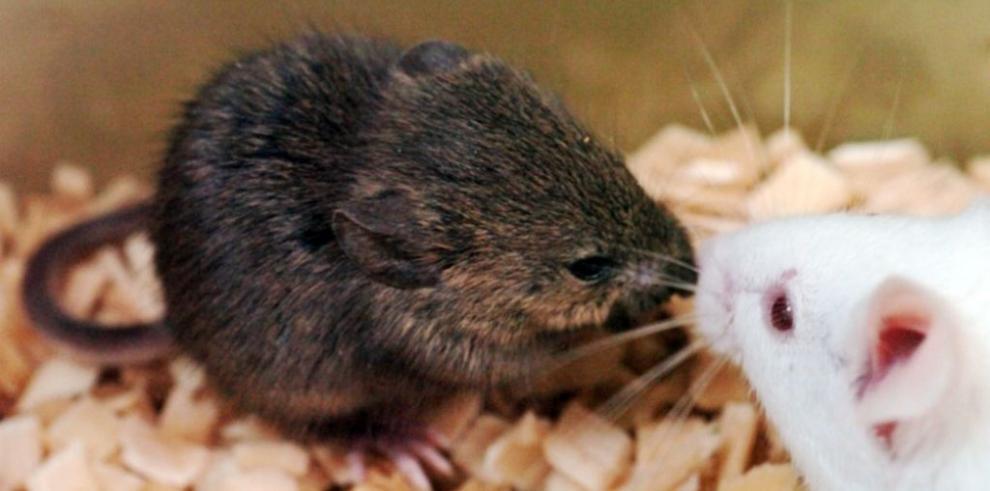 Una terapia génica devuelve el oído a ratones sordos