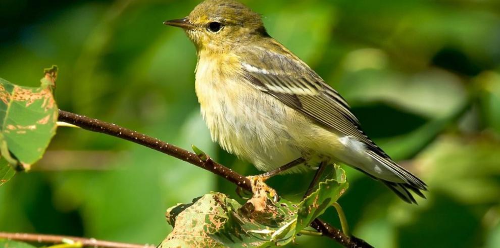 Pájaro de 12 gramos puede cruzar el Átlántico sin hacer escalas