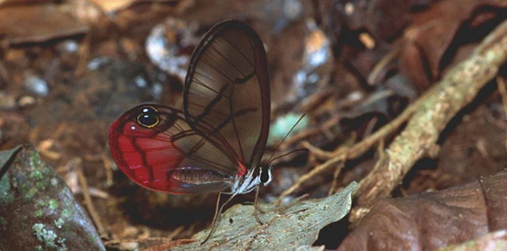 Las mariposas se extinguen en Panamá 6%, en 90 años