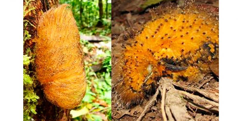 Ave amazónica se camufla como oruga para engañar a depredadores