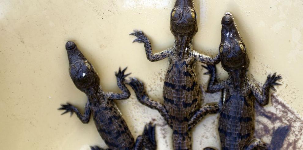 Salvadoreño rescata cocodrilos para evitar su extinción