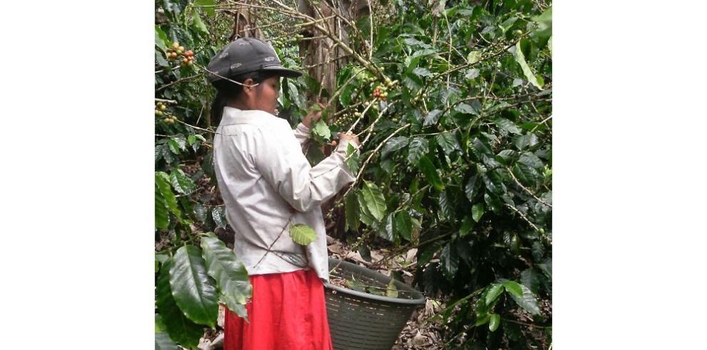 Cafetaleros esperan cosechar 70 mil quintales