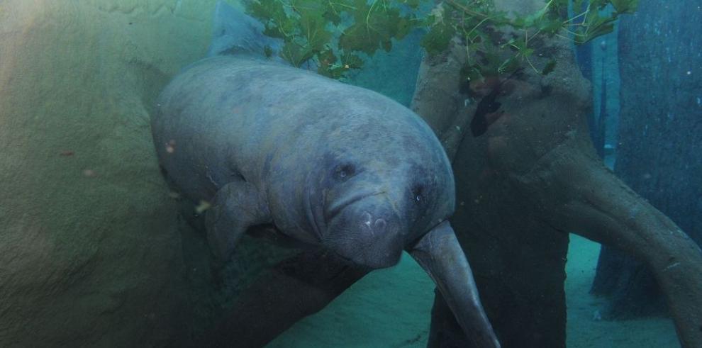 Más manatíes se observan en las costas de Florida
