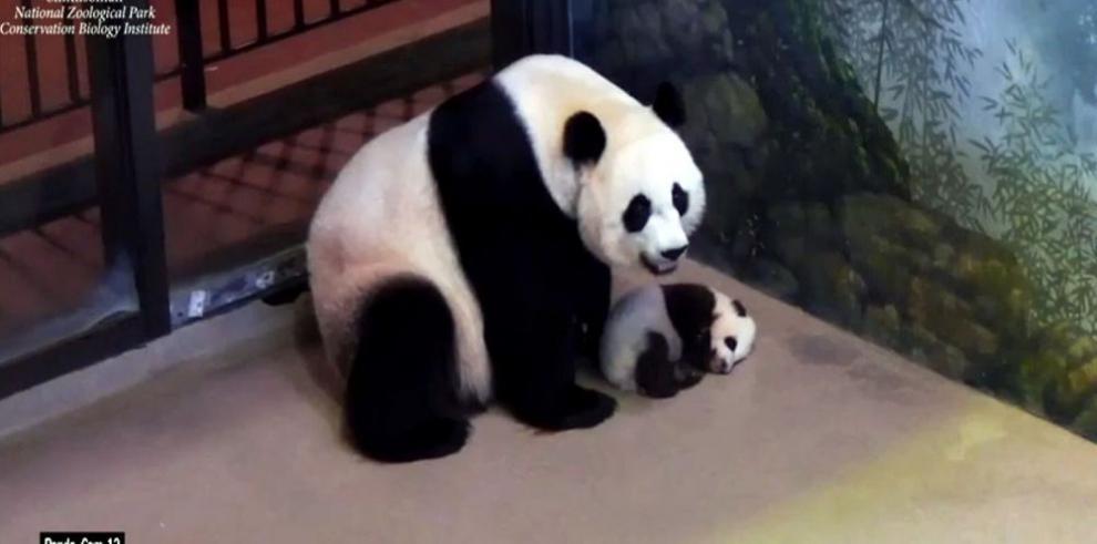 Científicos chinos decodifican lenguaje de pandas