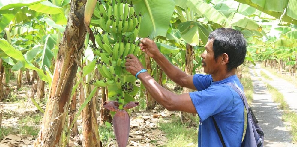 Definen plan de acción en cadena agroalimentaria de plátano en Chiriquí