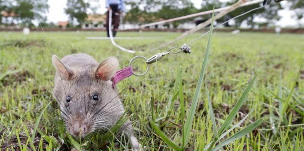 Ratas gigantes entrenan para salvar vidas en zonas minadas de Camboya