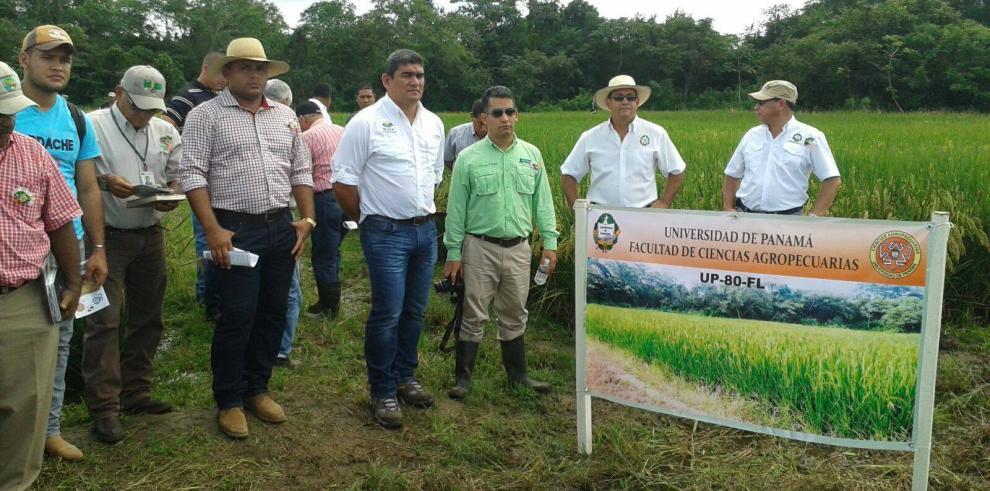 Universidad de Panamá libera nueva variedad de arroz