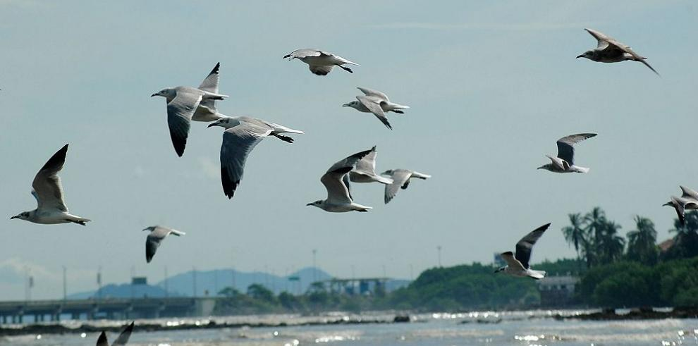 Panamá logra récord en conteo de aves
