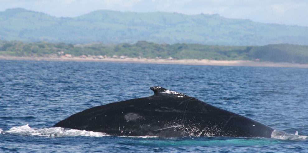 Capacitan a panameños en técnicas de atención a mamíferos marinos