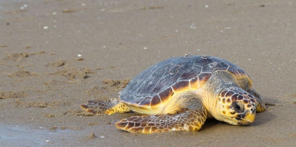 Seguidilla de tortugas muertas en Uruguay