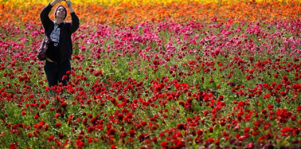 Impresionantes imágenes de campos de flores cerca de la Franja de Gaza