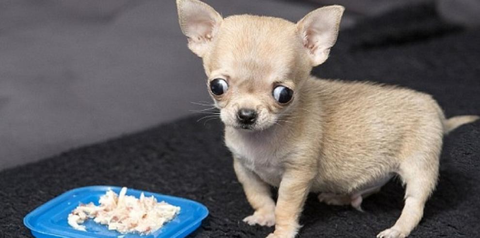 El perro más pequeño que una Coca Cola