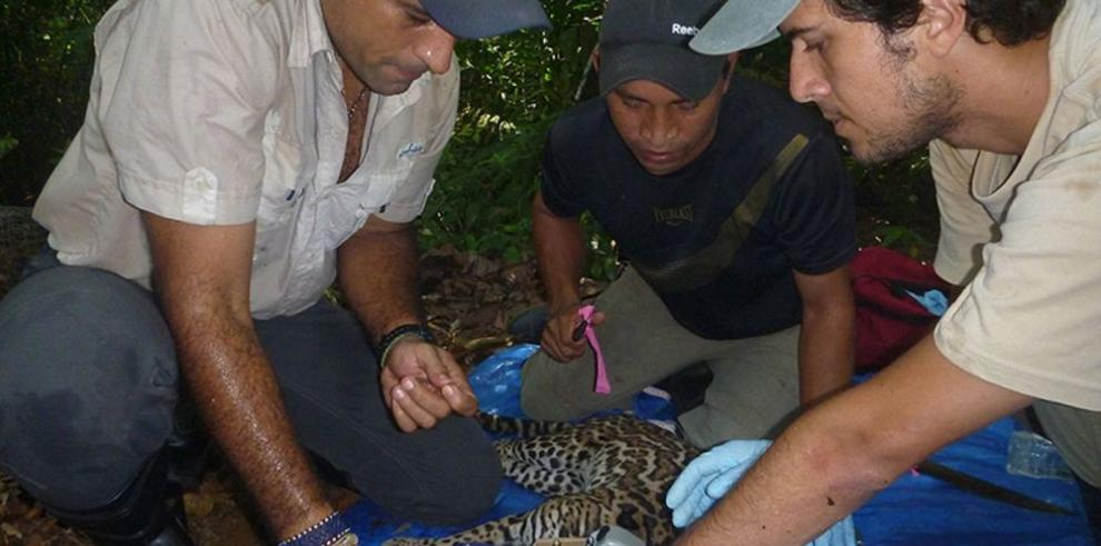 Panamá, al rescate del jaguar con tecnología de punta
