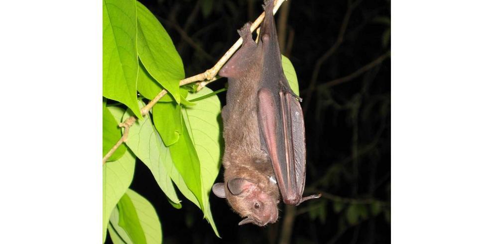 El Día Latinoamericano del Murciélago se celebra hoy