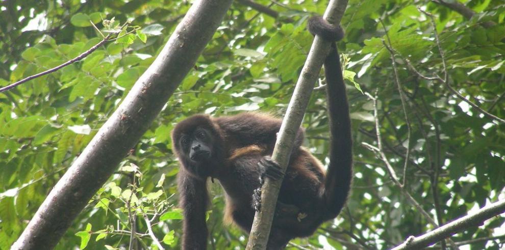 Una fundación panameña al rescate de los primates
