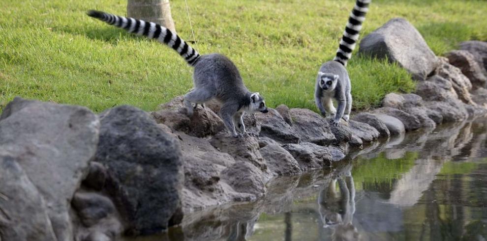 Guatemala acoge primeros lémures de cola anillada