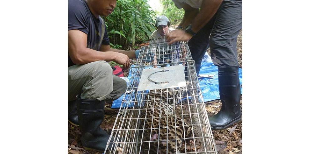 Colocan collares GPS a ocelotes del Parque Nacional Soberanía