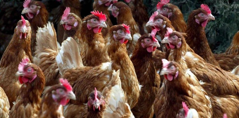 Panamá, en alerta por brote aviar en Costa Rica