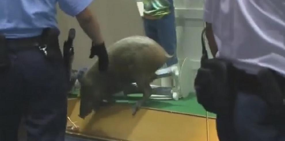 Un jabalí se paseó durante horas en un centro comercial en Hong Kong