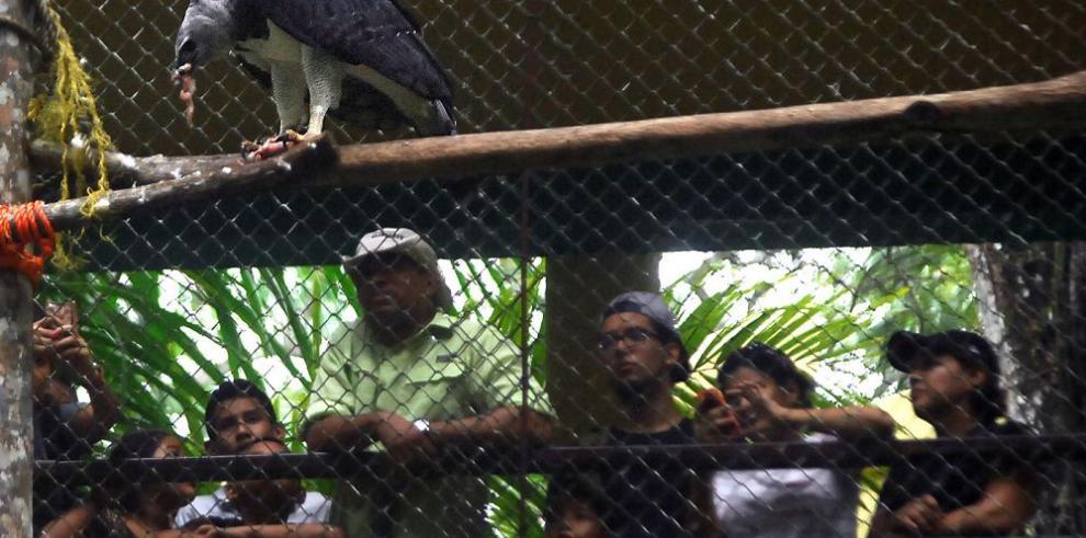 Celebran sexto cumpleaños de águila harpía Panamá en el parque Summit