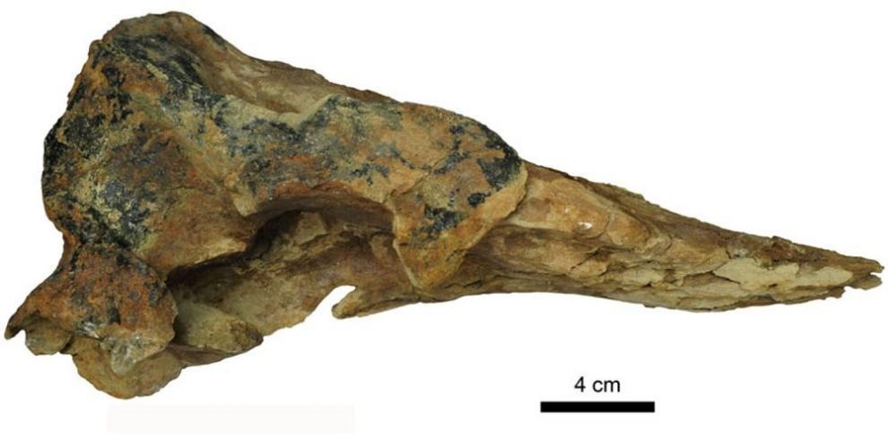 Panamá cuenta con nueva especie de ballena fósil