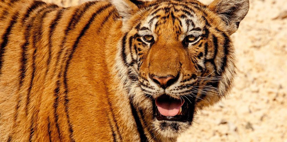 Un tigre mata a una trabajadora en un zoológico de Nueva Zelanda