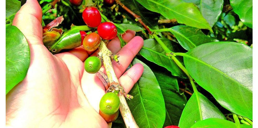 Cafetaleros proponen plan de sostenibilidad