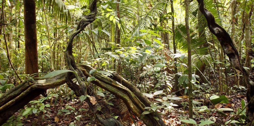 Las enredaderas desaceleran el crecimiento de los árboles