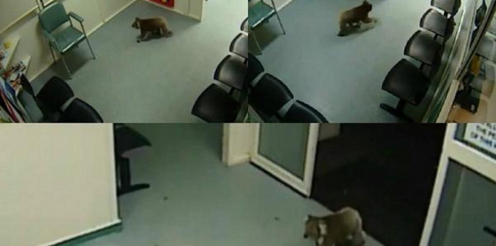 Un koala de paseo por un hospital australiano se viraliza en redes