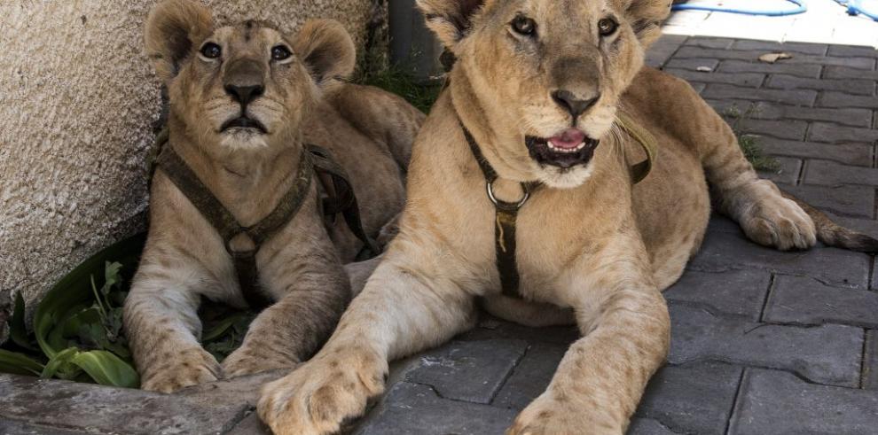 Dos cachorros de león, los últimos exiliados de Gaza