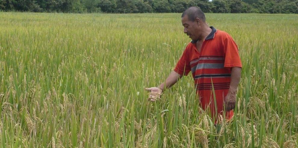 Importarán arroz por desabastecimiento