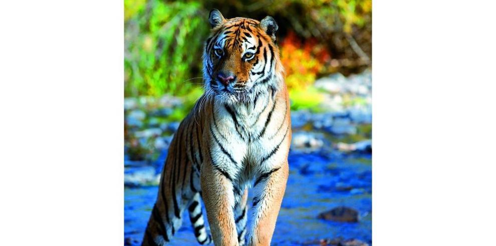 Se recupera la población de tigres siberianos y leopardos de Amur