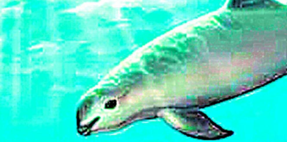 México quiere recuperar la vaquita marina