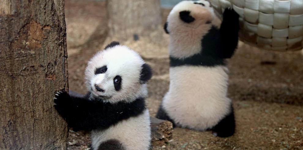 La población de pandas gigantes aumenta en China