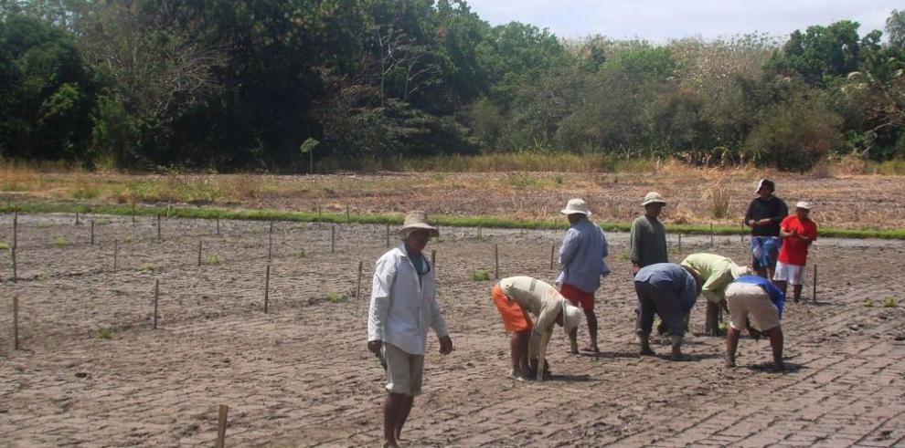 Dos nuevas variedades de arroz resistentes al ácaro