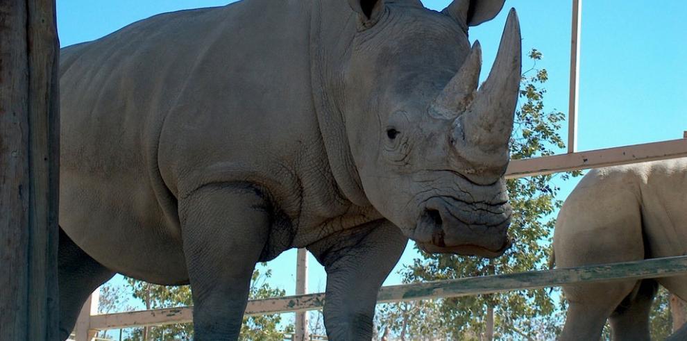 No hay tregua en la matanza de rinocerontes en Sudáfrica